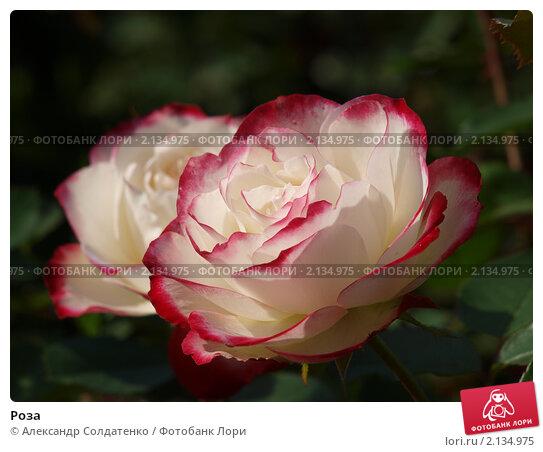 Купить «Роза», фото № 2134975, снято 22 августа 2010 г. (c) Александр Солдатенко / Фотобанк Лори