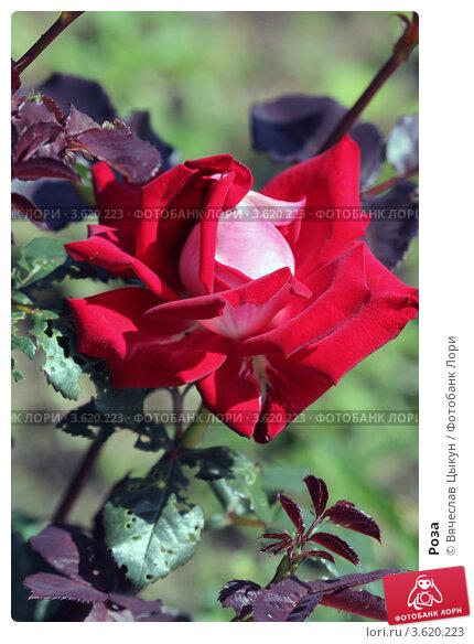 Роза. Стоковое фото, фотограф Вячеслав Цыкун / Фотобанк Лори
