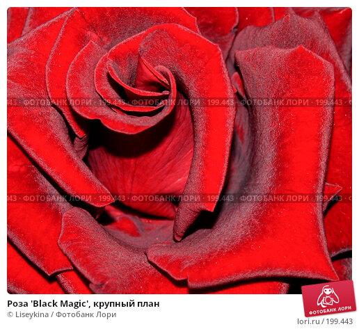 Роза 'Black Magic', крупный план, фото № 199443, снято 28 июля 2006 г. (c) Liseykina / Фотобанк Лори