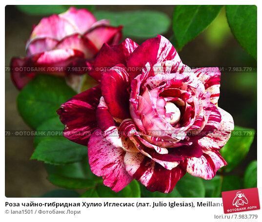 Купить «Роза чайно-гибридная Хулио Иглесиас (лат. Julio Iglesias), Meilland», эксклюзивное фото № 7983779, снято 19 июля 2015 г. (c) lana1501 / Фотобанк Лори