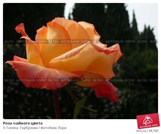 Роза чайного цвета, фото № 34743, снято 22 июня 2005 г. (c) Галина  Горбунова / Фотобанк Лори