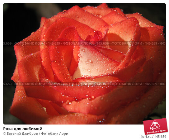 Роза для любимой, фото № 145659, снято 27 ноября 2007 г. (c) Лысых Константин / Фотобанк Лори