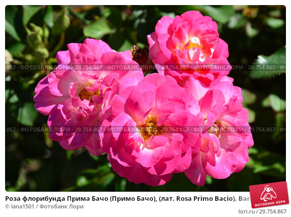 Купить «Роза флорибунда Прима Бачо (Примо Бачо), (лат. Rosa Primo Bacio). Barni, Италия 2009», эксклюзивное фото № 29754867, снято 4 августа 2015 г. (c) lana1501 / Фотобанк Лори