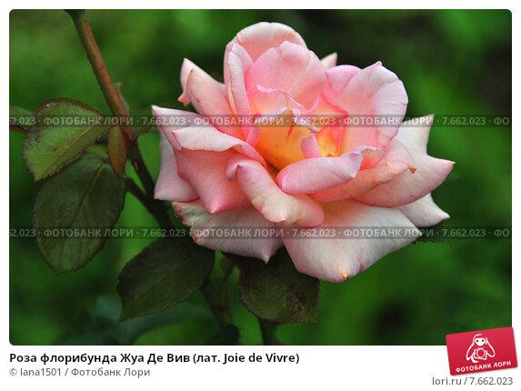 видишь роза жуа де вивр фото участвует ежегодно