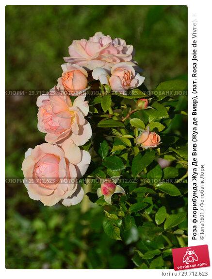роза жуа де вивр фото ассоциируется именно дождливой