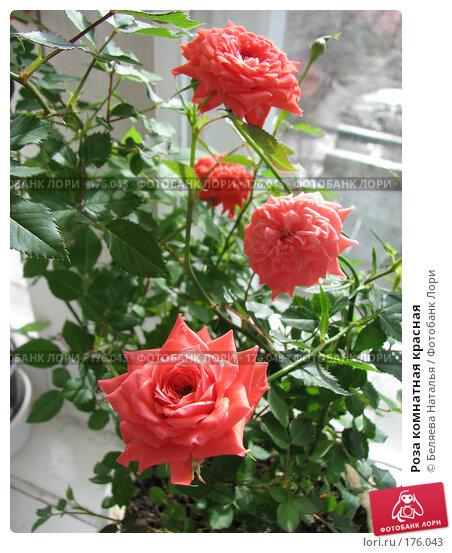 Роза комнатная красная, фото № 176043, снято 12 мая 2007 г. (c) Беляева Наталья / Фотобанк Лори