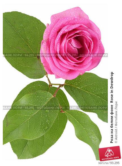 Роза на белом фоне  Rose in Dewdrop, фото № 93295, снято 14 апреля 2007 г. (c) Astroid / Фотобанк Лори