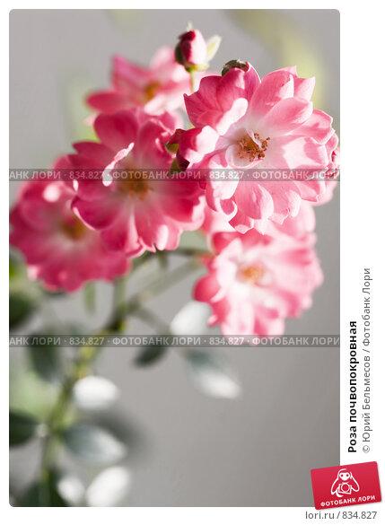 Купить роза почвопокровная скарлет