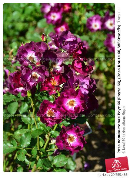 Купить «Роза полиантовая Роут 66 (Роуте 66), (Rosa Route 66, WEKmorfis). Tom Carruth, США 2001», эксклюзивное фото № 29755435, снято 14 августа 2015 г. (c) lana1501 / Фотобанк Лори