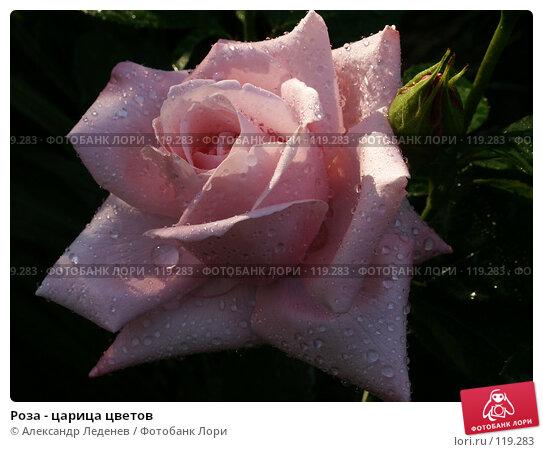 Купить «Роза - царица цветов», фото № 119283, снято 22 июня 2006 г. (c) Александр Леденев / Фотобанк Лори