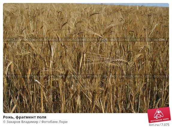 Рожь, фрагмент поля, фото № 7075, снято 30 июля 2006 г. (c) Захаров Владимир / Фотобанк Лори