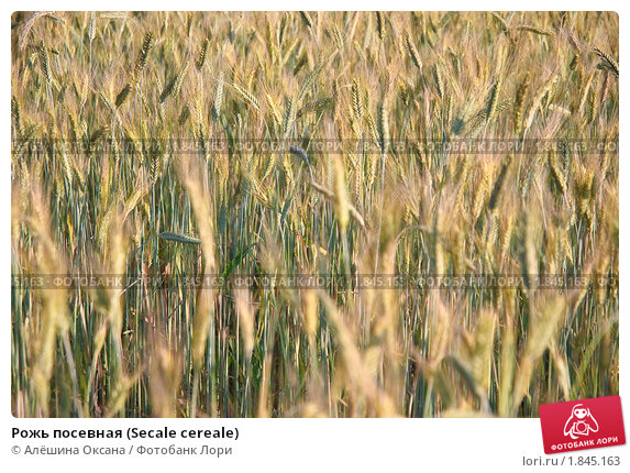 Купить «Рожь посевная (Secale cereale)», фото № 1845163, снято 5 июля 2010 г. (c) Алёшина Оксана / Фотобанк Лори