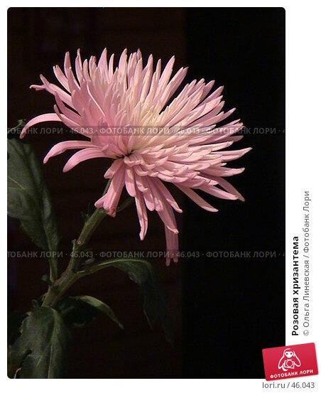 Розовая хризантема, эксклюзивное фото № 46043, снято 1 мая 2007 г. (c) Ольга Линевская / Фотобанк Лори