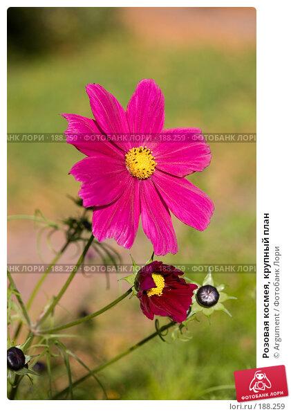 Розовая космея, крупный план, фото № 188259, снято 30 сентября 2007 г. (c) Argument / Фотобанк Лори