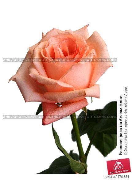 Розовая роза на белом фоне, фото № 176851, снято 13 июля 2007 г. (c) Останина Екатерина / Фотобанк Лори