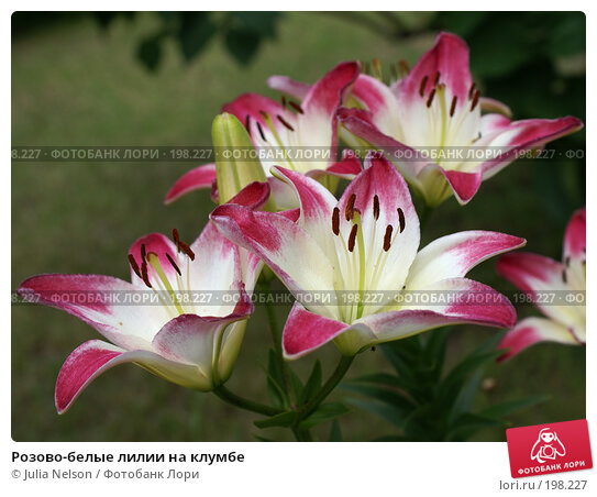 Купить «Розово-белые лилии на клумбе», фото № 198227, снято 1 июля 2007 г. (c) Julia Nelson / Фотобанк Лори