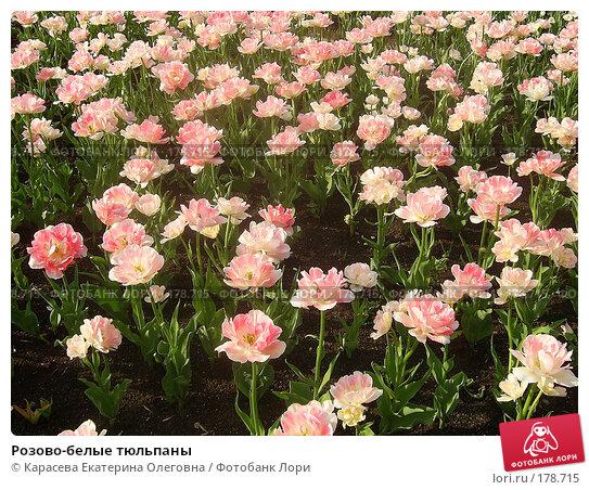 Розово-белые тюльпаны, фото № 178715, снято 7 января 2005 г. (c) Карасева Екатерина Олеговна / Фотобанк Лори