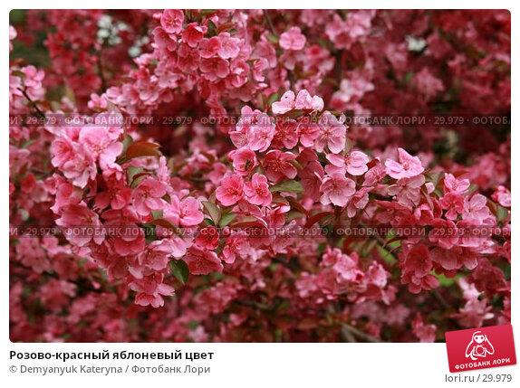 Розово-красный яблоневый цвет, фото № 29979, снято 27 марта 2007 г. (c) Demyanyuk Kateryna / Фотобанк Лори
