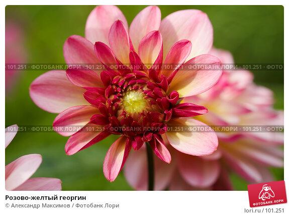Розово-желтый георгин, фото № 101251, снято 23 сентября 2006 г. (c) Александр Максимов / Фотобанк Лори