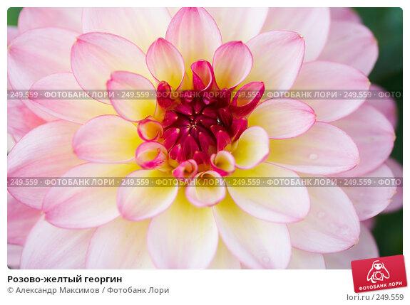 Розово-желтый георгин, фото № 249559, снято 23 сентября 2006 г. (c) Александр Максимов / Фотобанк Лори