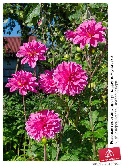Розовые георгины цветут на дачном участке. Стоковое фото, фотограф Елена Коромыслова / Фотобанк Лори