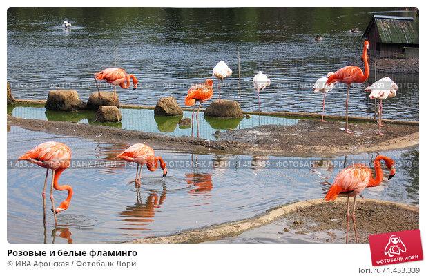ива фламинго фото
