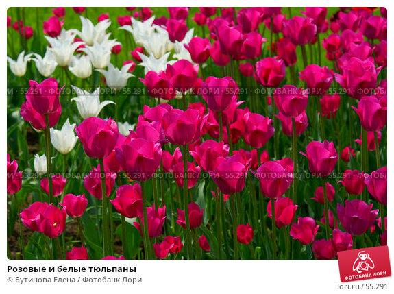 Розовые и белые тюльпаны, фото № 55291, снято 28 мая 2007 г. (c) Бутинова Елена / Фотобанк Лори
