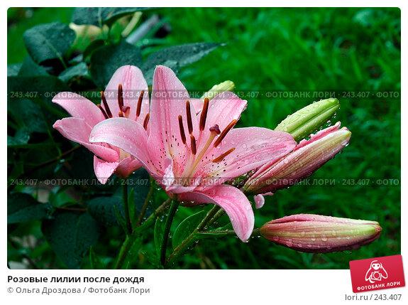 Купить «Розовые лилии после дождя», фото № 243407, снято 19 июля 2005 г. (c) Ольга Дроздова / Фотобанк Лори