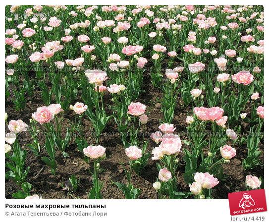 Розовые махровые тюльпаны, фото № 4419, снято 21 мая 2006 г. (c) Агата Терентьева / Фотобанк Лори