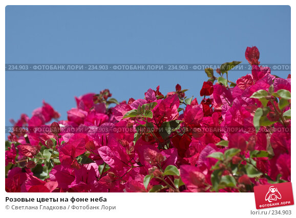 Розовые цветы на фоне неба, фото № 234903, снято 22 октября 2016 г. (c) Cветлана Гладкова / Фотобанк Лори