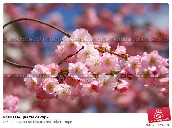 Купить «Розовые цветы сакуры», фото № 1630191, снято 14 апреля 2010 г. (c) Ельчанинов Вячеслав / Фотобанк Лори