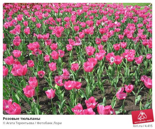 Розовые тюльпаны , фото № 4415, снято 21 мая 2006 г. (c) Агата Терентьева / Фотобанк Лори