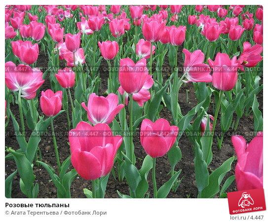 Розовые тюльпаны, фото № 4447, снято 21 мая 2006 г. (c) Агата Терентьева / Фотобанк Лори