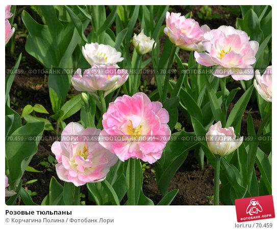 Купить «Розовые тюльпаны», фото № 70459, снято 21 мая 2006 г. (c) Корчагина Полина / Фотобанк Лори