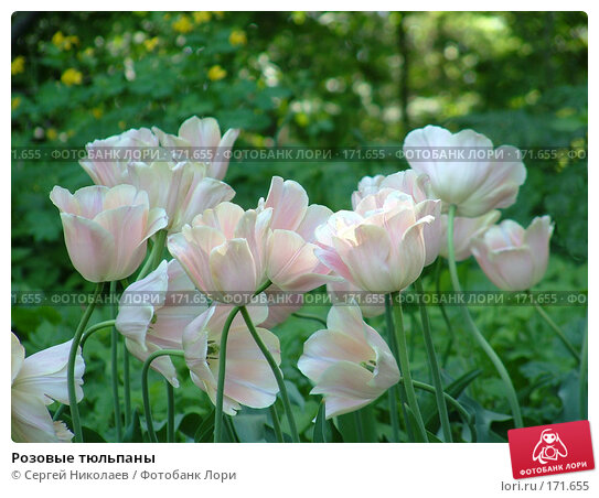 Розовые тюльпаны, фото № 171655, снято 25 мая 2007 г. (c) Сергей Николаев / Фотобанк Лори