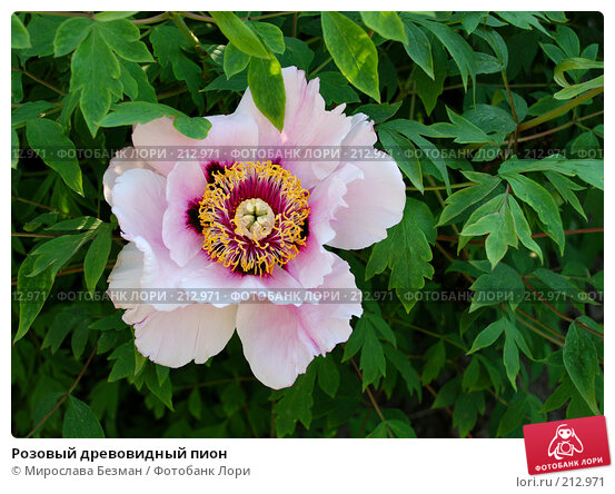Розовый древовидный пион, фото № 212971, снято 15 мая 2007 г. (c) Мирослава Безман / Фотобанк Лори