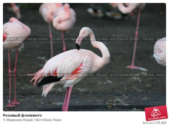 Розовый фламинго, фото № 175463, снято 10 декабря 2007 г. (c) Марюнин Юрий / Фотобанк Лори