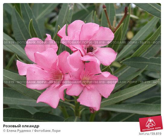 Розовый олеандр, фото № 59819, снято 10 сентября 2005 г. (c) Елена Руденко / Фотобанк Лори