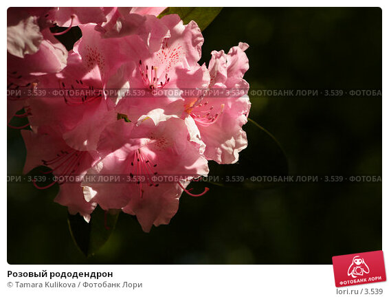 Розовый рододендрон, фото № 3539, снято 3 июня 2006 г. (c) Tamara Kulikova / Фотобанк Лори
