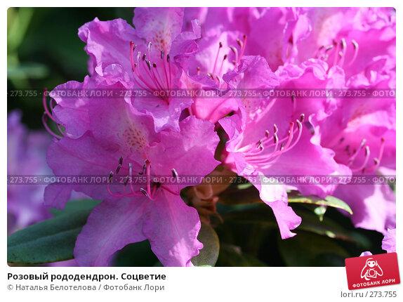 Розовый рододендрон. Соцветие, фото № 273755, снято 3 мая 2008 г. (c) Наталья Белотелова / Фотобанк Лори