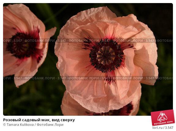 Розовый садовый мак, вид сверху, фото № 3547, снято 5 июня 2006 г. (c) Tamara Kulikova / Фотобанк Лори