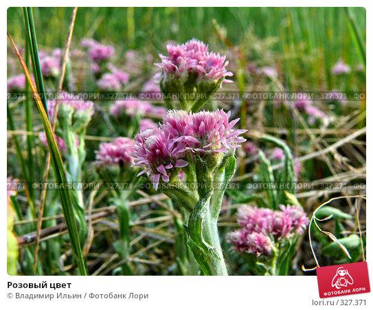 Розовый цвет, фото № 327371, снято 18 июня 2008 г. (c) Владимир Ильин / Фотобанк Лори