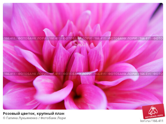 Розовый цветок, крупный план, фото № 166411, снято 12 сентября 2007 г. (c) Галина Лукьяненко / Фотобанк Лори