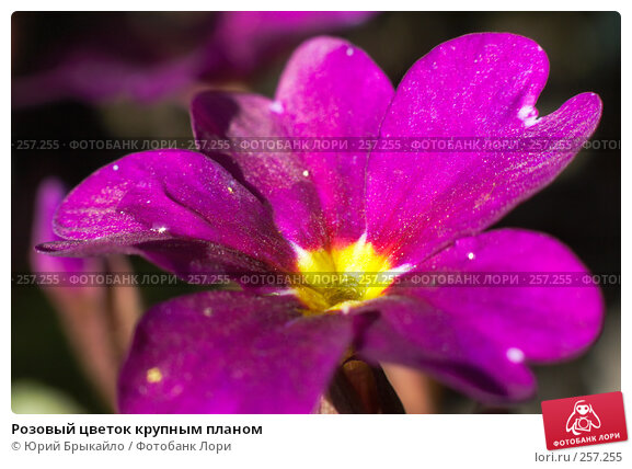 Розовый цветок крупным планом, фото № 257255, снято 11 апреля 2008 г. (c) Юрий Брыкайло / Фотобанк Лори