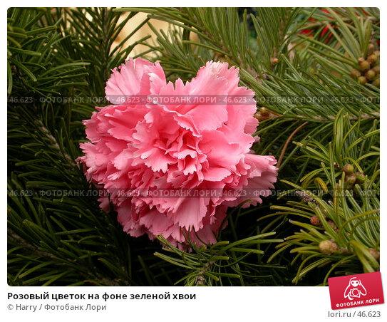 Розовый цветок на фоне зеленой хвои, фото № 46623, снято 12 мая 2007 г. (c) Harry / Фотобанк Лори