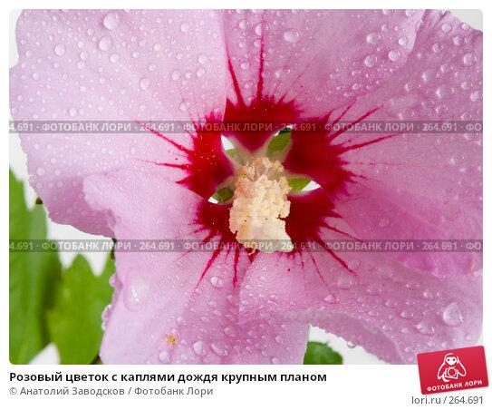 Розовый цветок с каплями дождя крупным планом, фото № 264691, снято 25 сентября 2007 г. (c) Анатолий Заводсков / Фотобанк Лори