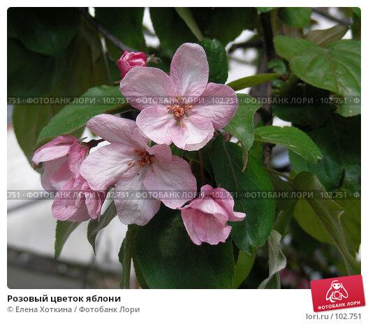 Купить «Розовый цветок яблони», фото № 102751, снято 23 ноября 2017 г. (c) Елена Хоткина / Фотобанк Лори