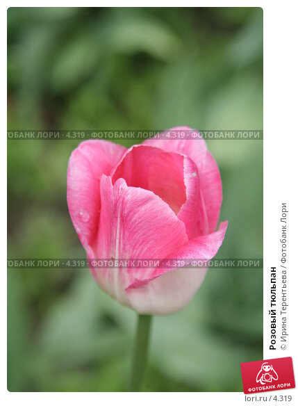 Розовый тюльпан, эксклюзивное фото № 4319, снято 29 мая 2006 г. (c) Ирина Терентьева / Фотобанк Лори
