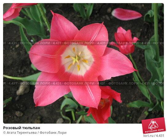 Розовый тюльпан, фото № 4431, снято 21 мая 2006 г. (c) Агата Терентьева / Фотобанк Лори