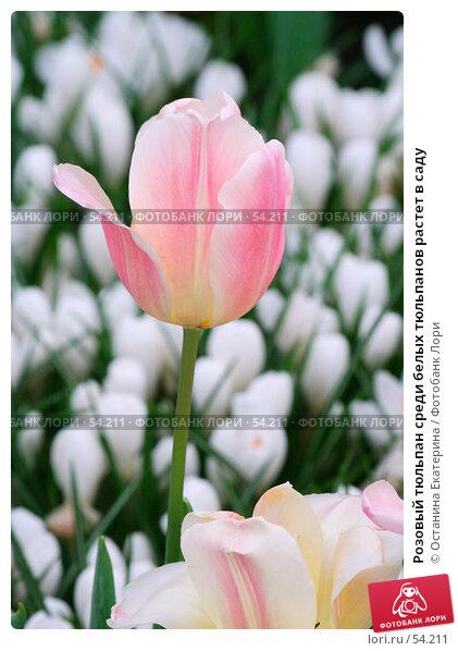 Розовый тюльпан среди белых тюльпанов растет в саду, фото № 54211, снято 19 февраля 2007 г. (c) Останина Екатерина / Фотобанк Лори